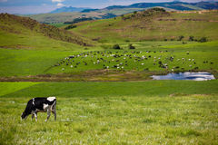 Cow Cattle Fields Mountains. Single cow eating green lush summer grass on the mountain slopes with the rest of cattle herd down by the water supply.Photo image Stock Photos