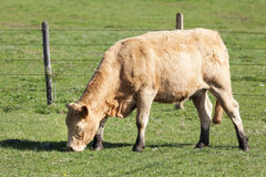 Cow alone in pasture Stock Photos