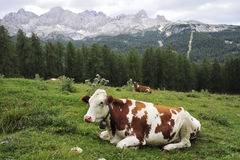 Cow on alp grass. Royalty Free Stock Images