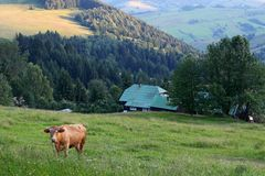 Cow in alp mountains Royalty Free Stock Photos