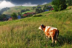 Cow in alp mountains Stock Photos