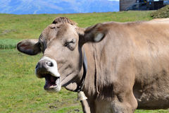 Cow in Alpes Stock Image