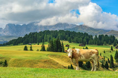 Cow in Alpi di Siusi, Dolomites. Italy royalty free stock photography