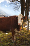 Cow on Alpine farm Stock Photo