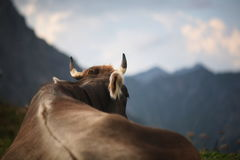 Cow. Alpine cow looking on Alps Royalty Free Stock Photos