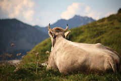 Cow. Alpine cow looking on Alps Royalty Free Stock Images