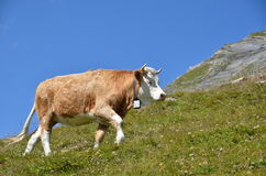 Cow in an Alpine meadow Royalty Free Stock Photography
