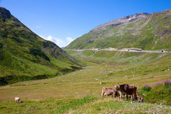 Cow in an Alpine Stock Photography