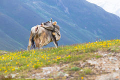 Cow in an Alpine meadow Royalty Free Stock Image
