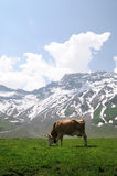 Cow in an Alpine meadow Stock Images