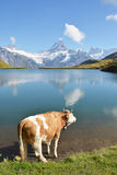 Cow in an Alpine meadow Stock Image