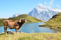 Cow in an Alpine meadow Royalty Free Stock Photo