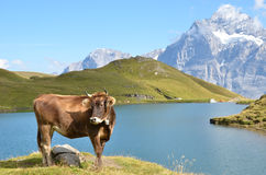 Cow on the Alpine meadow Stock Image