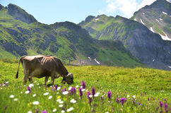 Cow in an Alpine meadow Stock Photography