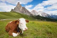 Cow on the alpine mountain hill. Pasture stock images