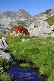 Cow on alpine pasture. Summer mountain cow on pasture with water stream Stock Photo