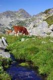 Cow on alpine pasture Stock Photo
