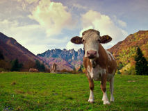 Cow in alpine pasture. A curious cow in mountain pasture royalty free stock photo