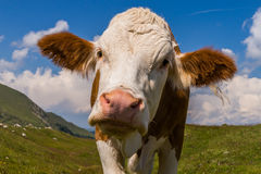 Cow at alpine pasture Royalty Free Stock Image