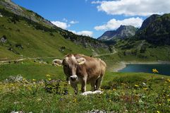 Cow on alpine wild flower pasture. A brown cow (Braunvieh, brown cattle) with big ears grazing on a alpine pasture between flowers in bloom. The Formarin Lake Stock Photography