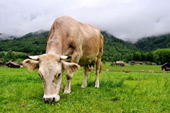 Cow in the alps Stock Photo
