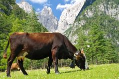 Cow on alps Royalty Free Stock Photo