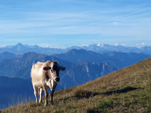 Cow on the Alps Stock Photo