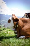 Cow in the alps Royalty Free Stock Photo