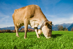 Cow in Alps Stock Photography