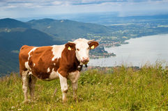 Cow in Alps. Brown cow in Alps on high mountain pasture with bavarian lake Tegernsee in background royalty free stock image