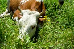 A cow in Alps. A cow in a road to Kleine Scheidegg Royalty Free Stock Photography