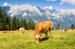 Cow in Alps. Brown cow in Austrian Alps on high mountain pasture stock images