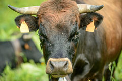 Cow in the alps Stock Image