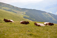 Cow in the alps Stock Images