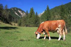 Cow in the Alps Royalty Free Stock Image
