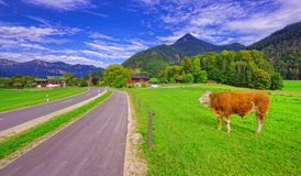 Cow in the Alps of Europ. E near the road royalty free stock photo