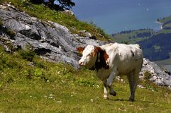 Cow in the Alps in Germany over Lake Forggensee Royalty Free Stock Photos