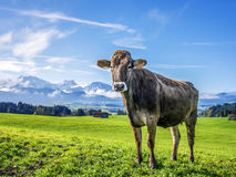 Cow with alps Royalty Free Stock Photo