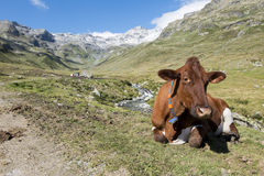 Cow in the alps Royalty Free Stock Photography