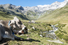 Cow in the alps Royalty Free Stock Images