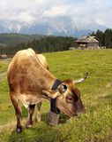 Cow in alps on pasture Royalty Free Stock Photography
