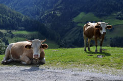 Cow in the Alps. Photo taken at an alpine pasture during a walking-tour in the Alps Royalty Free Stock Image