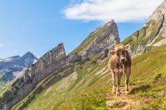 Cow of Alps Stock Photo