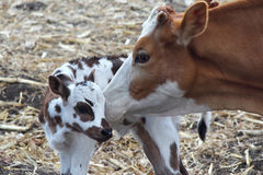 Free Cow And Calf Royalty Free Stock Images - 23972509