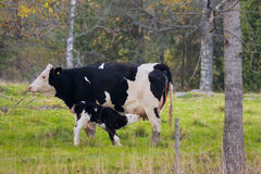 Free Cow And Calf Royalty Free Stock Image - 6542436