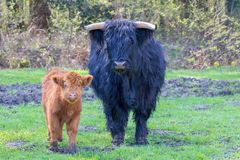 Cow And Calf Scottish Higlanders Standing Together Stock Image