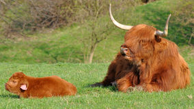 Cow And Cute Calf Of Highland Cattle Royalty Free Stock Image