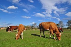 Cow And The Calf On A Summer Pasture. Royalty Free Stock Photos