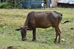 Cow Animal. Royalty Free Stock Photo