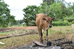 Cow Animal. Stock Image